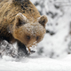 Close wild big brown bear in winter forest - PhotoDune Item for Sale