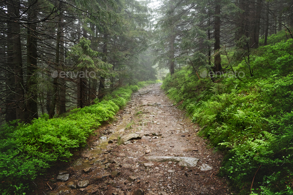 Beautiful evergreen forest with pine trees and trail - Stock Photo - Images