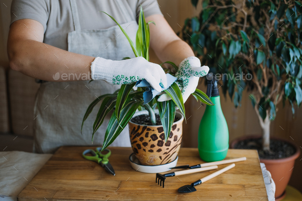 Spring Houseplant Care, Waking Up Indoor Plants for Spring. Female hands spray and washes the leaves - Stock Photo - Images