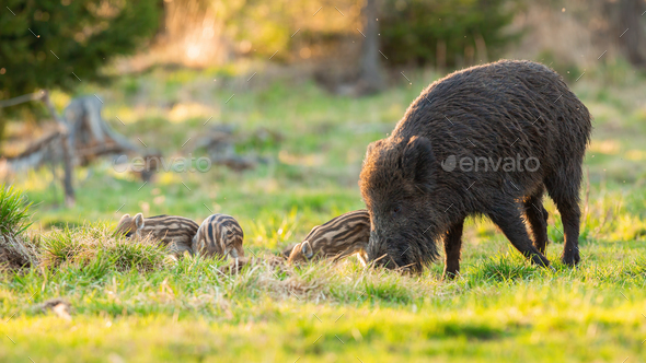 Wild boar family feeding on pasture in spring nature - Stock Photo - Images