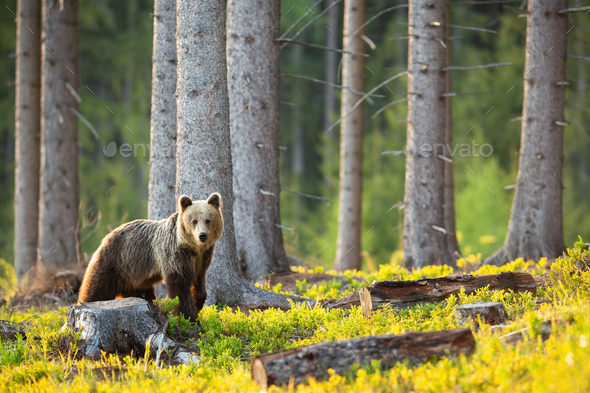 Sad brown bear looking at the stump and cut down tree - Stock Photo - Images