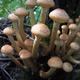 honey mushrooms growing at tree - PhotoDune Item for Sale
