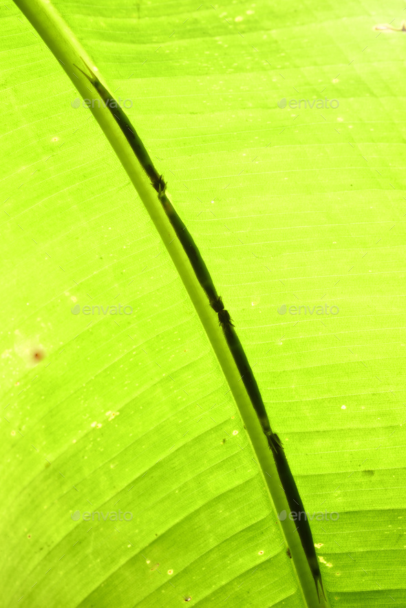 Tropical caterpillars hiding along the center of a banana plant leaf to camouflage - Stock Photo - Images