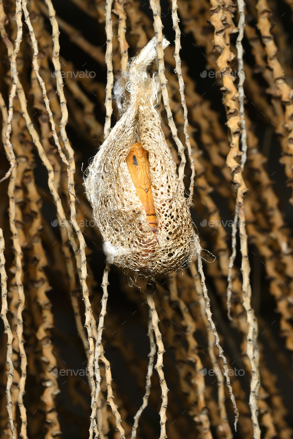 Cocoon of Madagascar comet moth butterfly ready to hatch. - Stock Photo - Images