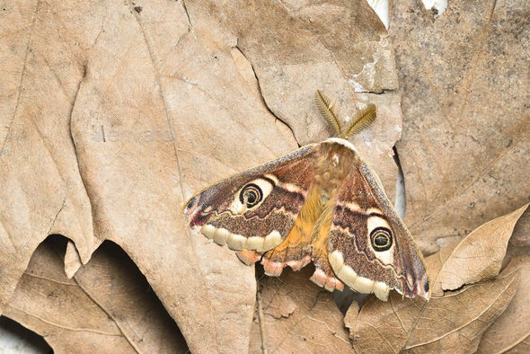 Male of Saturnia pavonia, the small emperor moth, camouflage on dead leaves and wing eye spots. - Stock Photo - Images