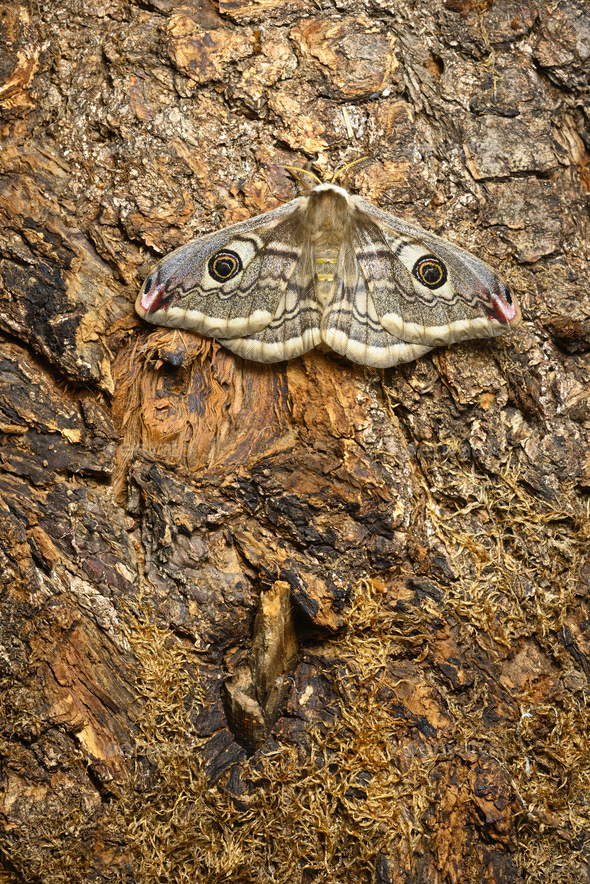 Female of Saturnia pavonia, the small emperor moth, camouflage on tree trunk and wing eye spots. - Stock Photo - Images