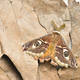 Male of Saturnia pavonia, the small emperor moth, camouflage on dead leaves and wing eye spots. - PhotoDune Item for Sale