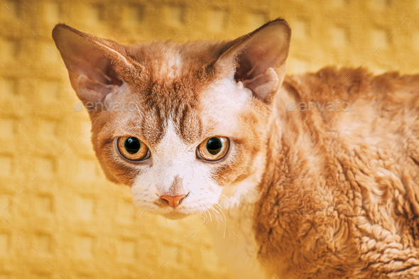 Red Ginger Devon Rex Cat. Short-haired Cat Of English Breed On Yellow Plaid Background. Shorthair - Stock Photo - Images