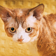 Red Ginger Devon Rex Cat. Short-haired Cat Of English Breed On Yellow Plaid Background. Shorthair - PhotoDune Item for Sale