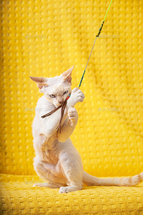 White Devon Rex Kitten Kitty Playing With Feather Toy. Short-haired Cat Of English Breed On Yellow - Stock Photo - Images
