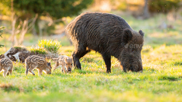 Adult wild boar with piglets grazing on grass in spring - Stock Photo - Images