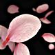 Cherry Blossom Sakura Petals Falling - Upwards View - 4 Clips - VideoHive Item for Sale