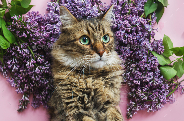 Cute tabby cat among lilac flowers on pink paper, top view. Hello spring, Cat Day concept
