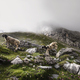 sheep jumping in mountains in fog - PhotoDune Item for Sale