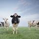 milk cows staring on pasture - PhotoDune Item for Sale