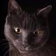 British Short Hair Cat Portrait - PhotoDune Item for Sale