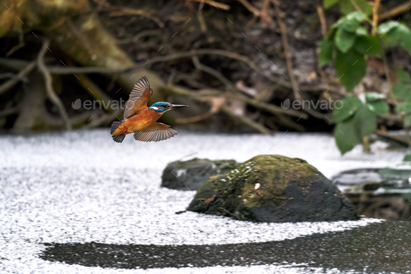 Common kingfisher (Alcedo atthis) - Stock Photo - Images
