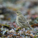 Eurasian rock pipit (Anthus petrosus) - PhotoDune Item for Sale