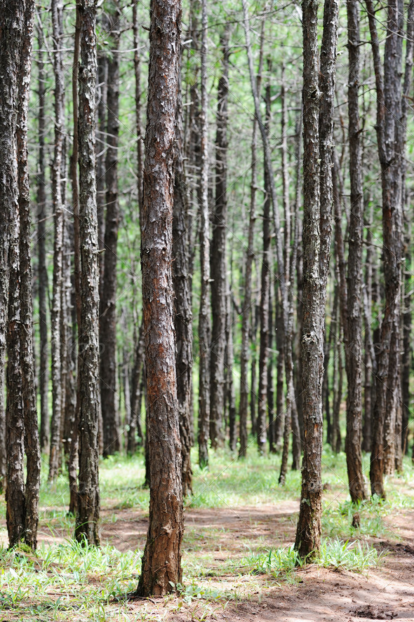Pine forest - Stock Photo - Images