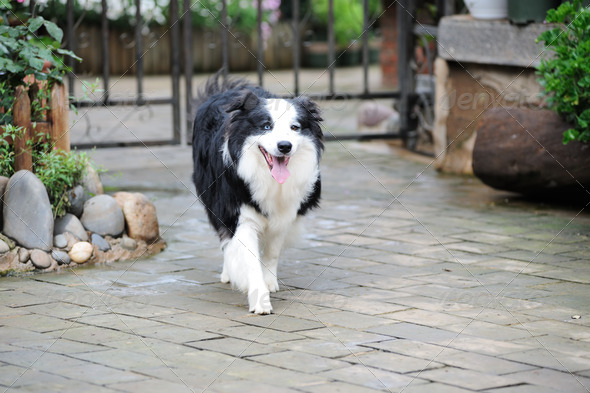 Border collie dog - Stock Photo - Images