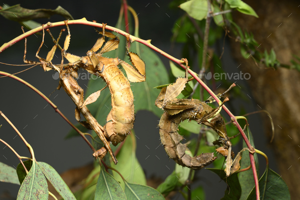 Spiny leaf insect, large species of Australian stick insect, Extatosoma tiaratum - Stock Photo - Images
