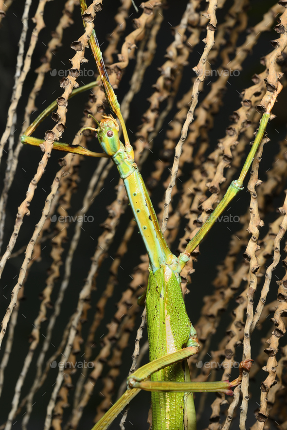 Giant stick insect, large species of Australian stick insect, - Stock Photo - Images