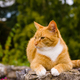 Handsome Ginger Cat Relaxing in a Garden - PhotoDune Item for Sale