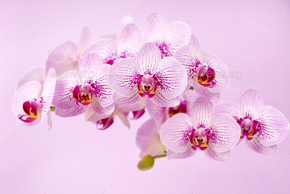 Beautiful orchid flowers on a pink background. Floral background - Stock Photo - Images