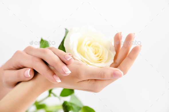 Hands of a woman with beautiful french manicure and a white rose - Stock Photo - Images