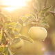 Apples On The Tree 3 - VideoHive Item for Sale
