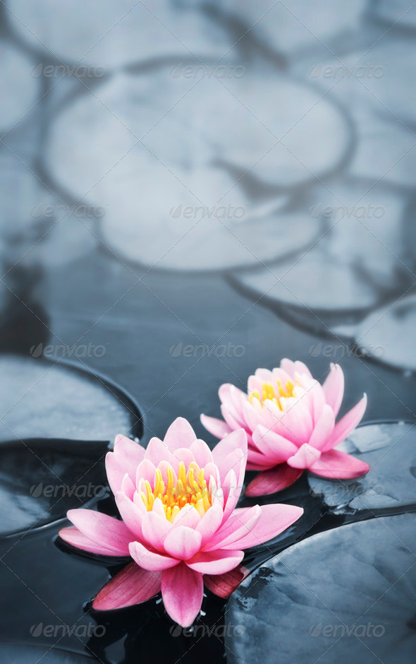 Lotus Blossoms - Stock Photo - Images