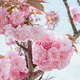 close-up blossoming branch with bloom pink flower buds of cherry or sakura tree - PhotoDune Item for Sale