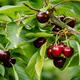 Fresh Cherries on a Tree in Australia - PhotoDune Item for Sale