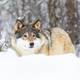 Beautiful wolf standing in the snow in beautiful winter forest - PhotoDune Item for Sale