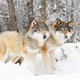 Two beautiful wolves in cold snowy winter forest - PhotoDune Item for Sale