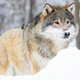 Close-up portrait of a beautiful wolf in the cold winter - PhotoDune Item for Sale