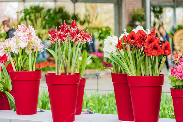 red and white amaryllis flower blooming - Stock Photo - Images
