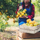 Young farmer  holding sweet orange in hands. Farmer gathering autumn orange harvest from green farm. - PhotoDune Item for Sale