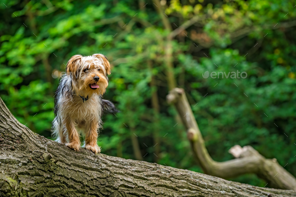 Selective focus shot of a cute yorkshire terrier on a tree trunk - Stock Photo - Images