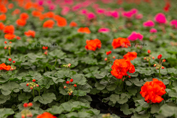 Geranium plants in a greenhouse - Stock Photo - Images