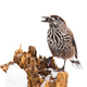 Spotted nutcracker sitting on stump covered in snow isolated on white - PhotoDune Item for Sale