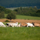 Bunch of domestic goats grazing on meadow with forested hills in background - PhotoDune Item for Sale