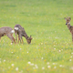Three young roe deer bucks grazing on a fresh green meadow with grass in spring - PhotoDune Item for Sale
