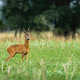 Big roe deer buck standing on agricultural field in summer with copy space - PhotoDune Item for Sale