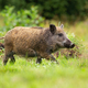 Young wild boar walking on a glade with green grass in summer forest - PhotoDune Item for Sale
