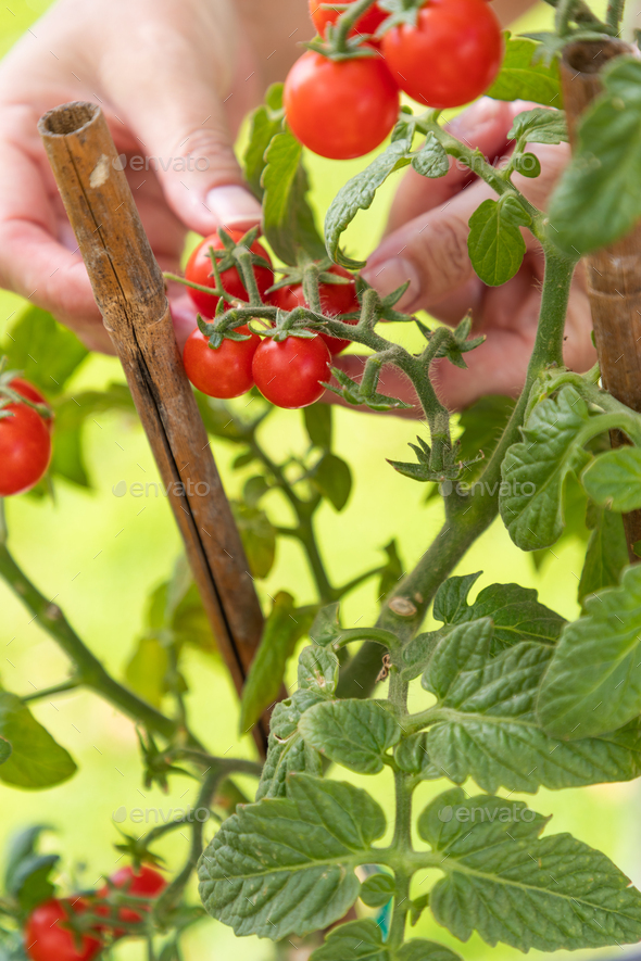 Woman Picking Ripe Cherry Tomatoes On The Vine in the Garden - Stock Photo - Images