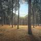 Pinewood forest. Marina di Cecina, Maremma Tuscany, Italy - PhotoDune Item for Sale