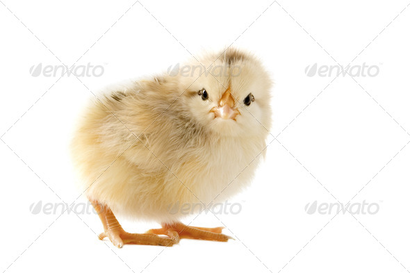 young chick - Stock Photo - Images