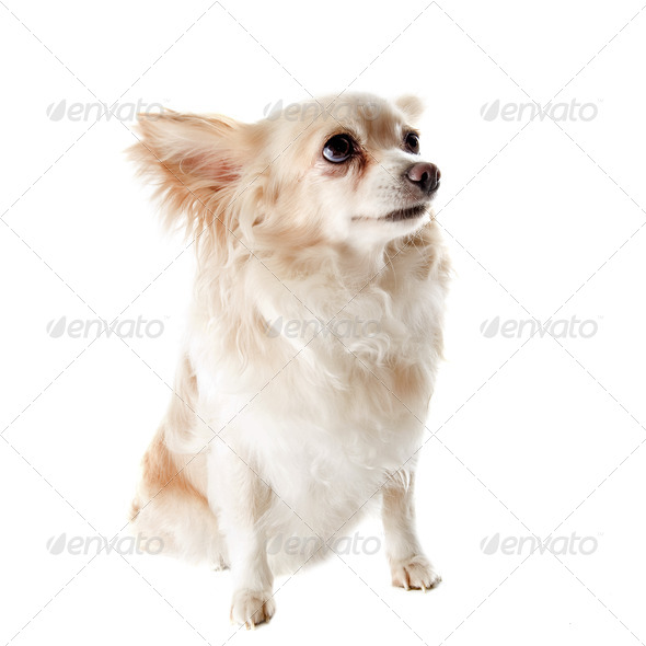 old chihuahua - Stock Photo - Images