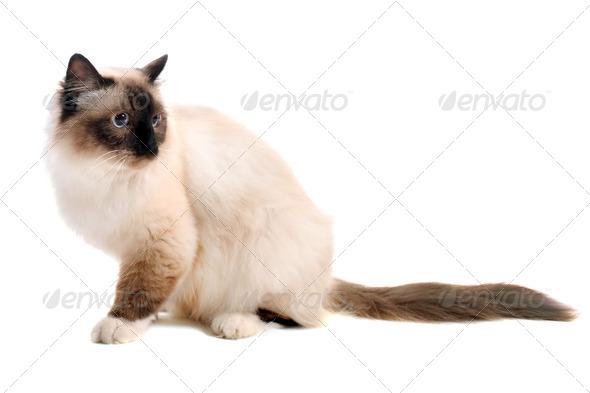birman cat - Stock Photo - Images